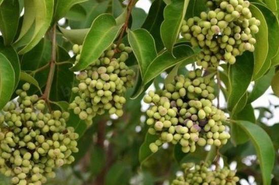 白蜡树籽的用处