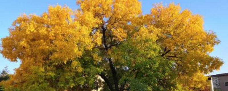 白蜡树枯梢病