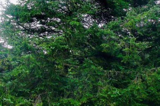 云杉是几级保护植物
