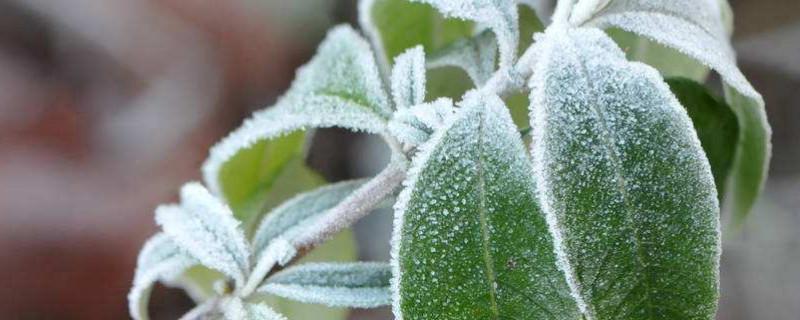 薄荷叶子上有白霜一样的东西