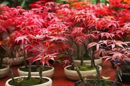 红枫可以室内养殖吗