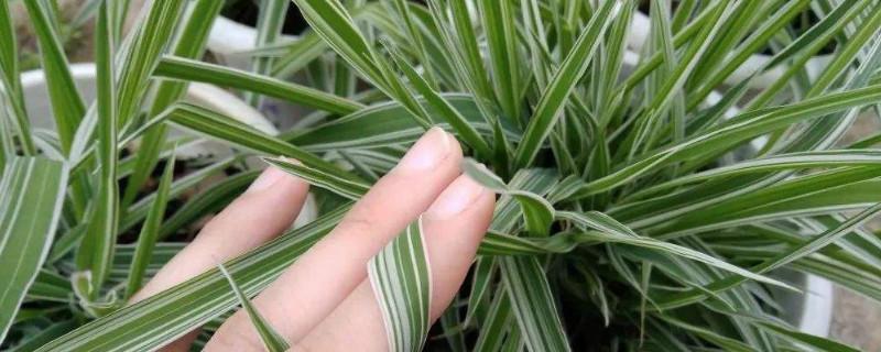 玉带草的功效与作用