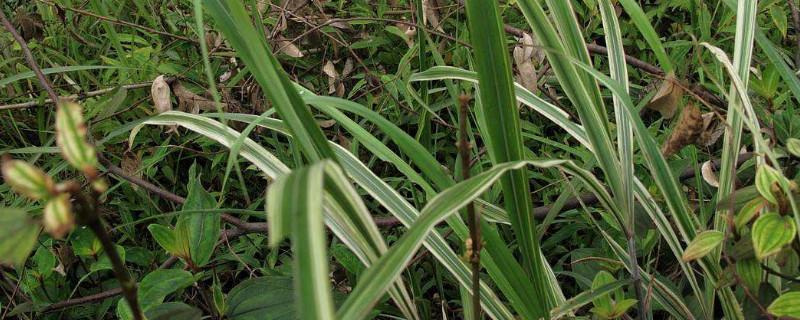 玉带草是常绿的吗