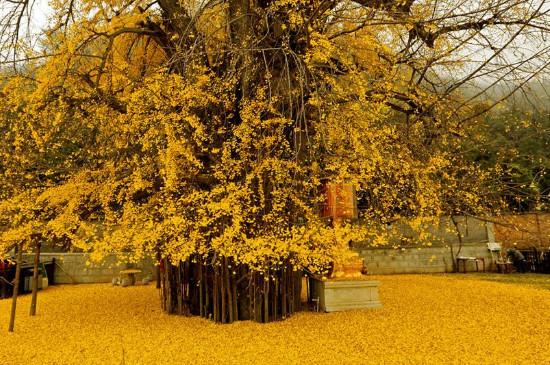 西安千年银杏树开放时间