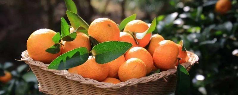 西林沙糖桔节是什么时候