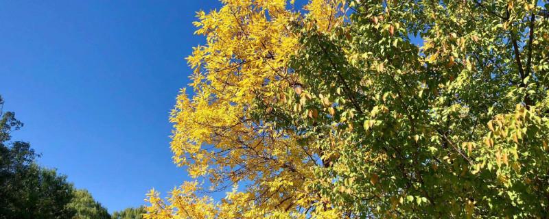 白蜡树是常绿树吗