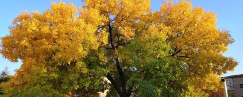 白蜡树是什么树种