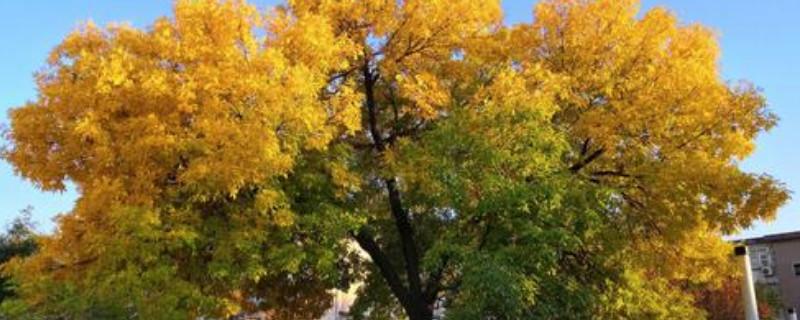 白蜡树病虫害防治
