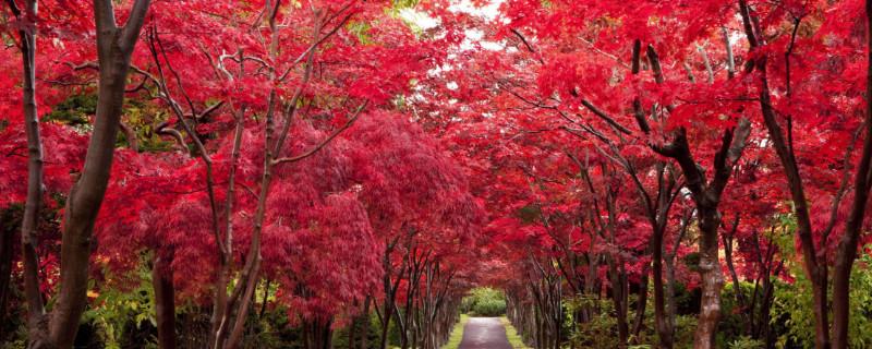 红枫是乔木还是灌木