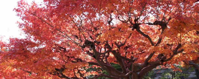 红枫为什么要摘叶