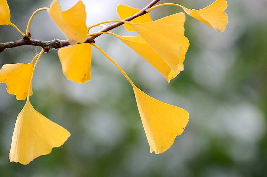 诸暨五泄银杏叶什么时间黄