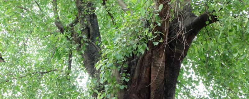 塔尔寺的菩提树开花吗