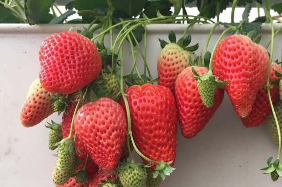 天仙醉草莓品种介绍
