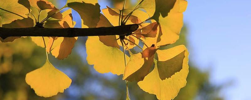 天童寺银杏什么时候黄