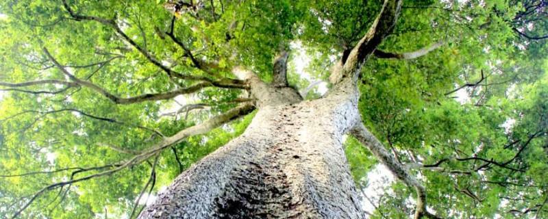 金丝楠木密度和硬度
