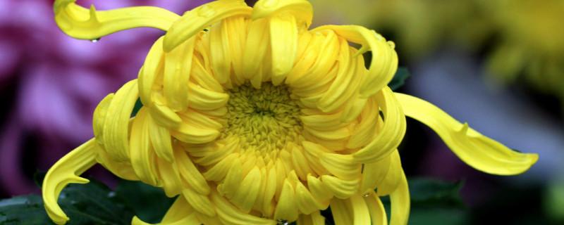 新鲜菊花怎样处理晒干