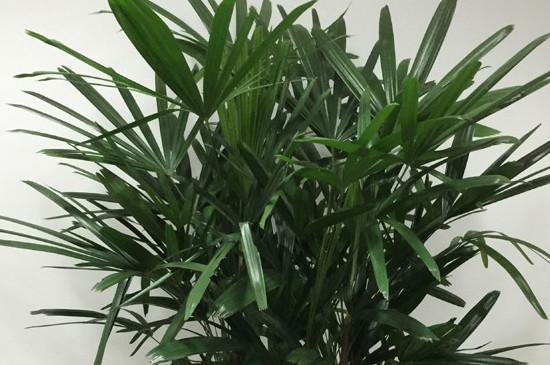 金山棕竹的养殖方法和注意事项