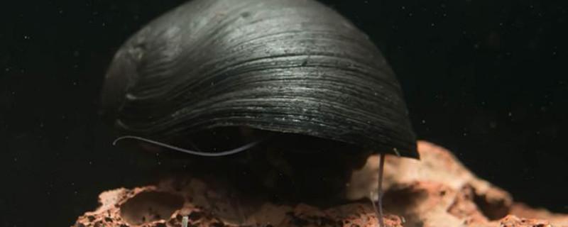 金刚螺怎么繁殖