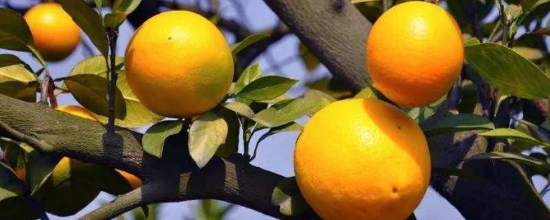 橙子的生长过程步骤