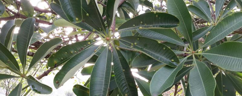 糖胶树花为什么那么臭