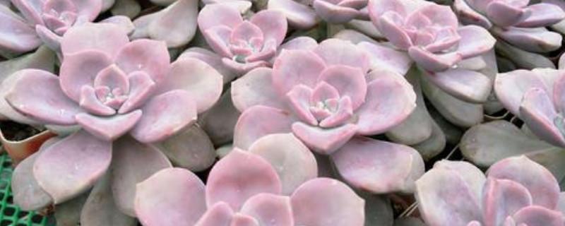 紫乐多肉叶子发软