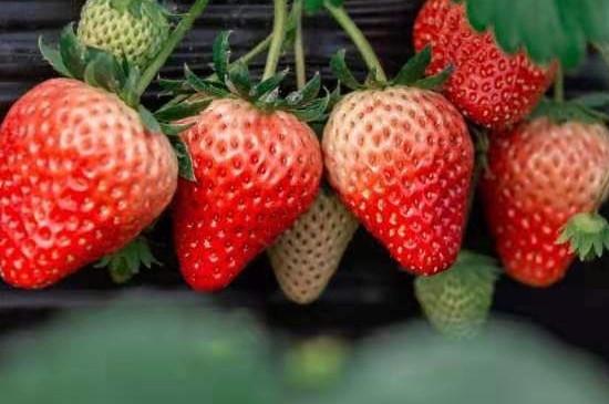 红芭蕾草莓产自哪里