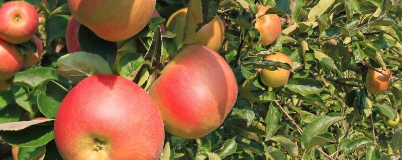 苹果树冬剪最佳时间