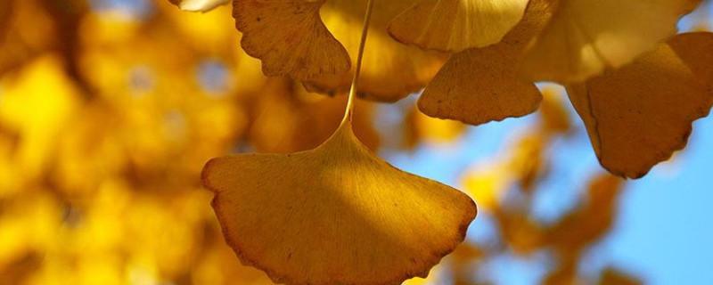 银杏树叶子能泡水喝吗