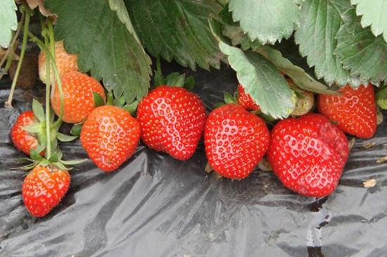 12月的草莓能吃吗