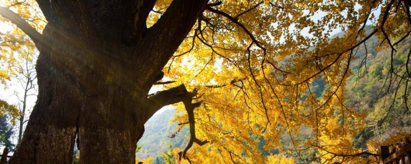 银杏王树在哪里