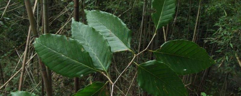 青冈木是什么树