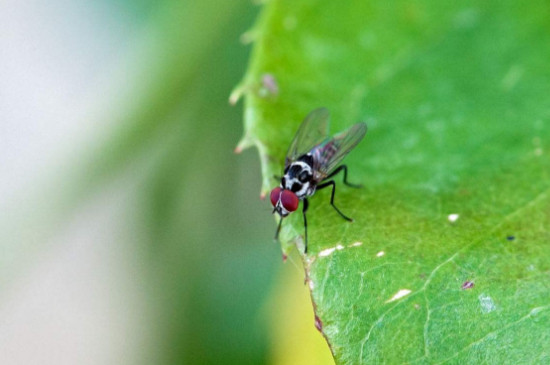 驱蚊草可以驱苍蝇吗