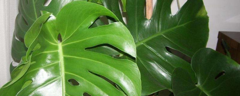 龟背竹sure使用硫酸亚铁吗