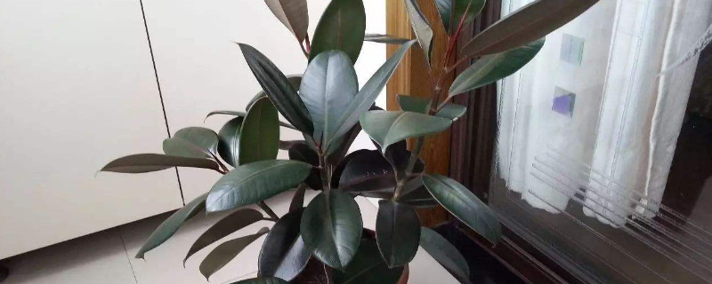 橡皮树是喜酸植物吗