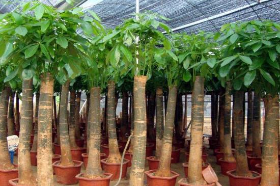 橡皮树是发财树吗