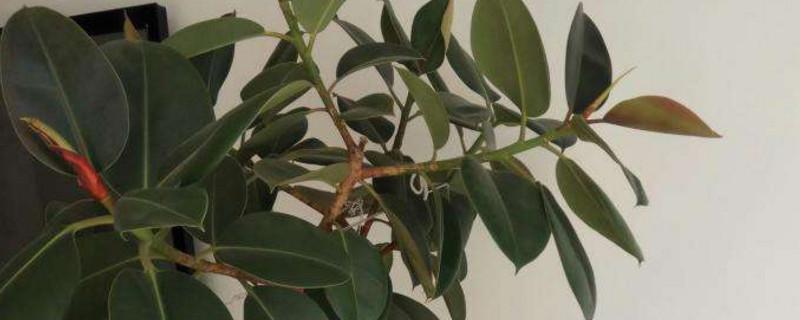 橡皮樹是橡膠樹嗎