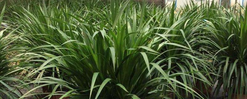 龍血樹是保護植物嗎