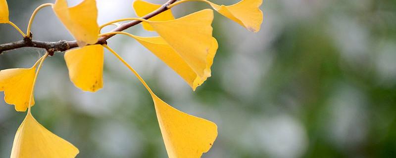 关于银杏叶的知识