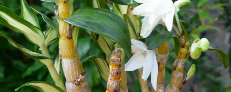 石斛繁殖方法