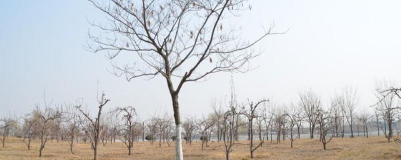 冬天树木保暖的方法
