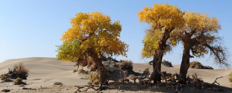 哪种树在沙漠中被称为会流泪的树