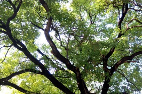 槐树是落叶树还是常绿树
