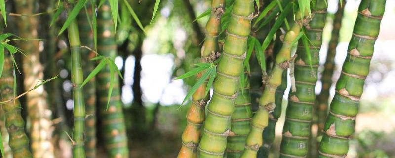 盆竹的种类