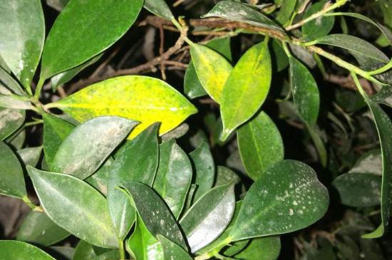 花叶发黄是什么原因,怎么治