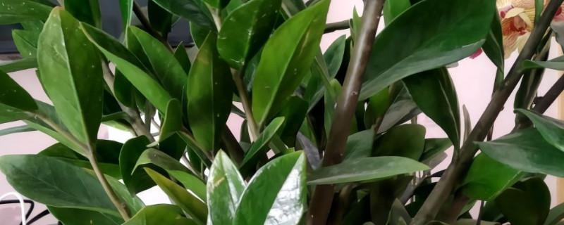 金钱树的叶子发黄:发黄的原因及处理办法