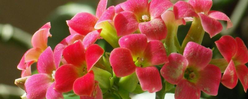 长寿花为什么不开花光长叶