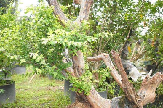 雀梅的养殖方法和注意事项