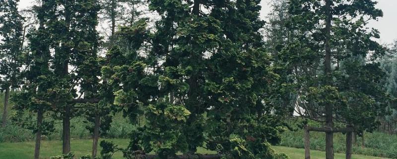 青松是什么植物