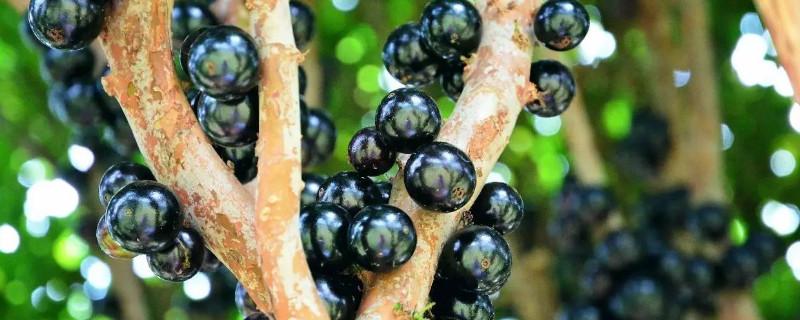 嘉宝果树开花前不浇水