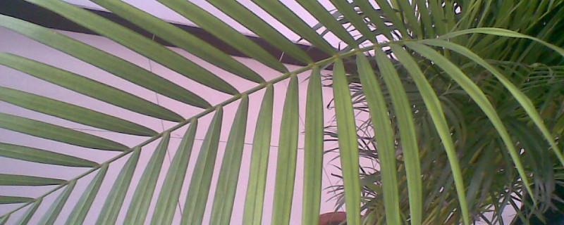 台湾竹的养殖方法